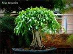phoca_thumb_l_Ficus benjamina Matapalo benjamina Aparaguado con raices aereas EC