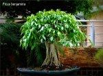 phoca_thumb_l_Ficus benjamina Matapalo benjamina Aparaguado con raices aereasEC