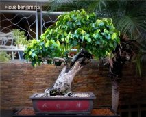 phoca_thumb_l_Ficus benjamina nuda Matapalo Aparaguado JLG