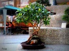 phoca_thumb_l_Ficus benjamina nuda Matapalo Aparaguado sobre roca MC
