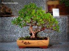 phoca_thumb_l_Ficus macrocarpa tiger Matapalo Aparaguado RR