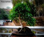 phoca_thumb_l_Ficus nerifulia Pajarito mosiu Sobre rocaBdT