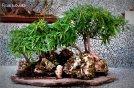 phoca_thumb_l_Ficus subulata Matapalo pajarito musiu Bosque DdP