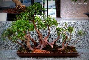 phoca_thumb_l_Ficus subulata Matapalo pajarito musiu Bosque OC