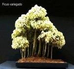 phoca_thumb_l_Ficus variegado