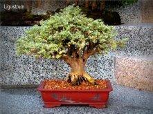 phoca_thumb_l_Ligostrum japonicum Ligustro Escoba JLR