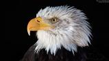 bird_bald_eagle_1920
