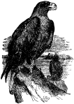 Britannica_Eagle_-_Sea-Eagle