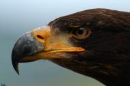 Eagle-98