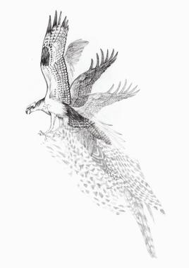 eagle-sketch1