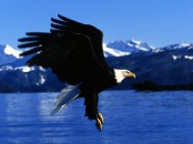 Eagle-Wallpapers