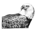 eagle1_fixed-1