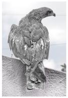 Eagle_Draw_by_sharan