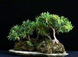 phoca_thumb_l_Arboleda sobre roca Ficus Pajarito Mosiu