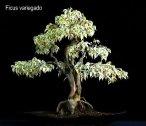 phoca_thumb_l_Ficus Variegado I