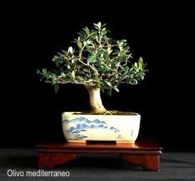 phoca_thumb_l_Olivo Mediterraneo