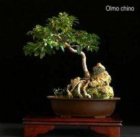 phoca_thumb_l_Olmo Chino II