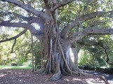 1.1239711360.105-year-old-tree