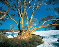 A beautiful old snow gum