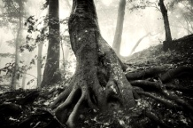 11386262-old-tree-with-huge-roots-in-a-spooky-forest-with-dark-fog