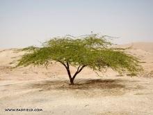 acacia-tree-in-jordan