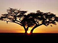 african-tree