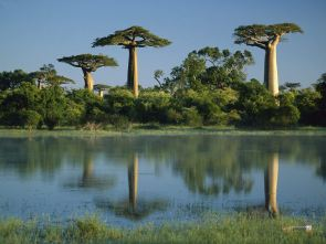 Baobab-Trees-Reflected-in-Wetlands-Morondava-Madagascar-Wallpaper