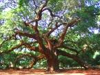 best-picture-gallery-nature-tree-angel-oak-tatterh00d3-dave-martin-mod