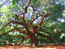 best-picture-gallery-nature-tree-angel-oak-tatterh00d3-dave-martin-mod