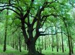 Big_Tree_Wallpaper_lxyh