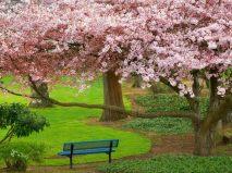 cherry_tree_evergreen_park_washington-normal