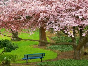 cherry_tree_evergreen_park_washington-normal