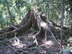 massive-roots-on-200-year-old-tree-pangandaran