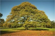 [MP023] Old Oak Tree