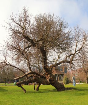 mulberry_tree__by_mr_wrinkly-d4suuot