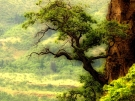 OAK_TREE_Wallpaper__yvt2