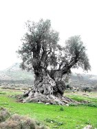 Old_Tree_20one