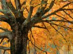 Old_tree_in_Autumn