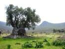 olive20tree204