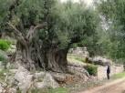 olivetree_1500yrs1