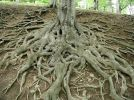 roots-of-big-old-tree