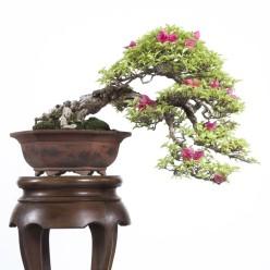 Galeria Kengai, estilo kengai, bonsai kengai, galeria do estilo kengai, estilo cascata na natureza, estilos de bonsai, aido bonsai,Gallery Kengai , Kengai style , bonsai Kengai , gallery style Kengai , cascade style in nature , styles of bonsai , bonsai aido , Galería Kengai , estilo Kengai , bonsai Kengai , galería Kengai estilo , el estilo de cascada en la naturaleza, los estilos de bonsai , bonsai aido ,แกลเลอรี่ Kengai สไตล์ Kengai , บอนไซ Kengai แกลลอรี่ สไตล์ Kengai สไตล์ น้ำตก ในธรรมชาติ รูปแบบของ บอนไซ, บอนไซ aido ,Gallery Kengai , Kengai Stil Bonsai Kengai , Galerie Stil Kengai , Kaskaden -Stil in der Natur, Arten von Bonsai, Bonsai aido ,