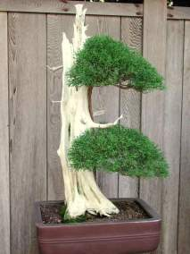 52_bonsai_tree