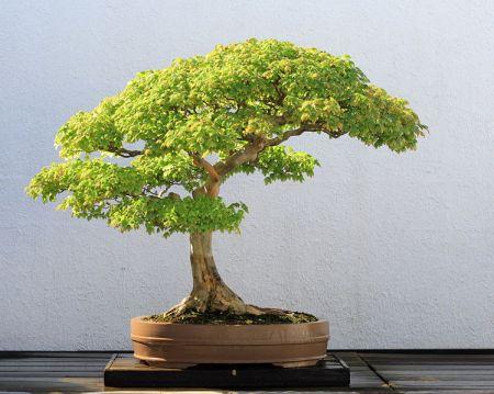 749px-Trident_Maple_bonsai_52,_October_10,_2008