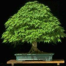 A'palmatum'
