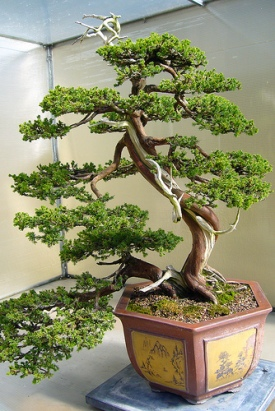 bonsai-el-arte-asiatico-01