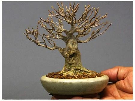 bonsai_84
