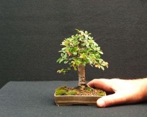 chinese elm with hand 290706 400