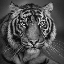 Desenho-de-tigre-feito--lpis_thumb4
