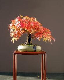 Japanese maple bonsai in fall